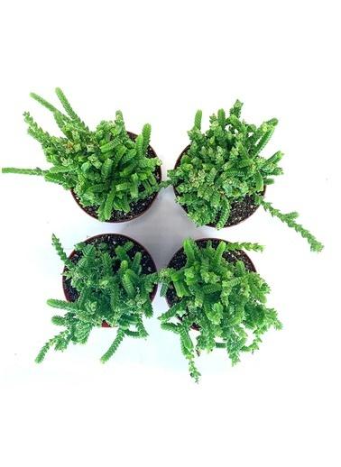 Çiçek Antalya Çiçek Antalya Teraryum Kaktüs Sukulent Crassula Muscosa 4 Lü Yeşil